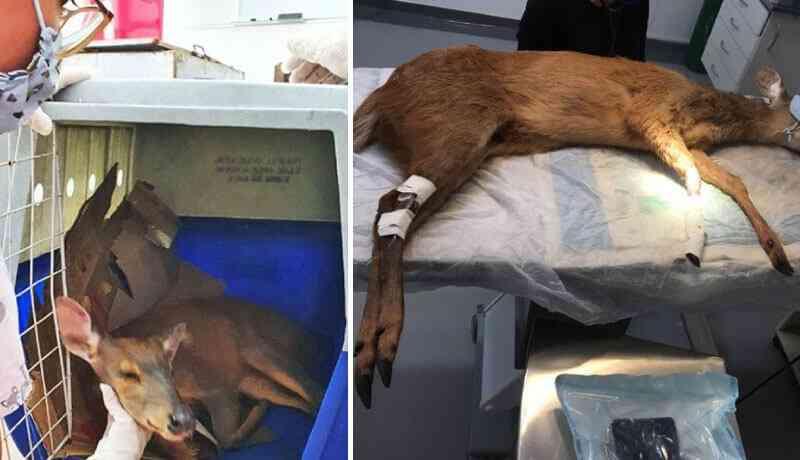 Fêmea de veado resgatada pela Mata Ciliar não voltará à natureza