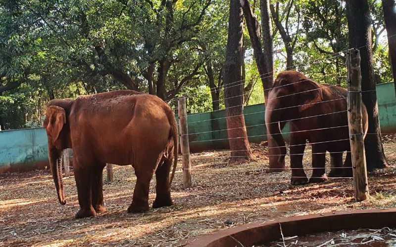 Elefantas convivem no zoológico desde 2014, mas houve êxito no pareamento até hoje.
