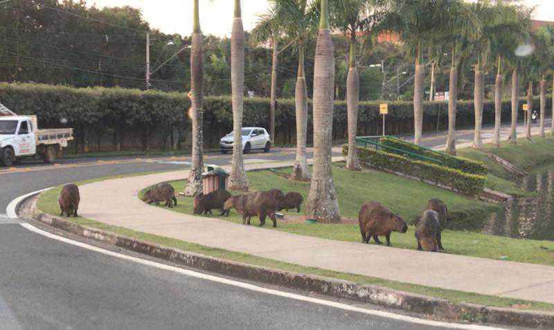 Capivaras que vivem em condomínio de Sorocaba (SP) correm o risco de irem para o abate em Goiás; PETIÇÃO
