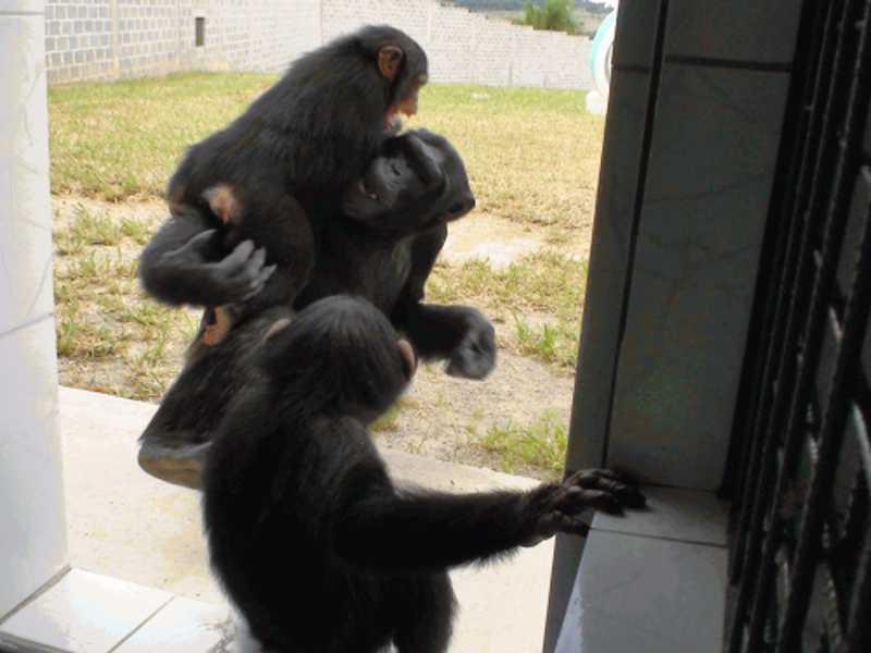 Chimpanzés Sofia, Jimmy e Sara,