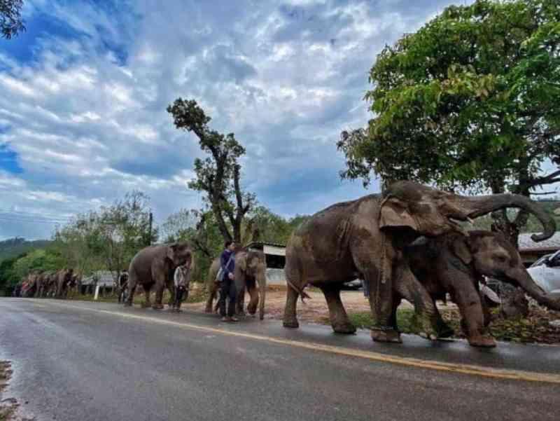 1.476 elefantes são devolvidos à natureza após fechamento de atrações turísticas, na Tailândia