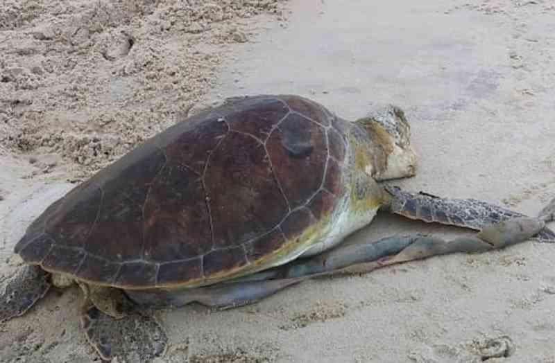 Duas tartarugas são encontradas mortas em praias do sul da Bahia