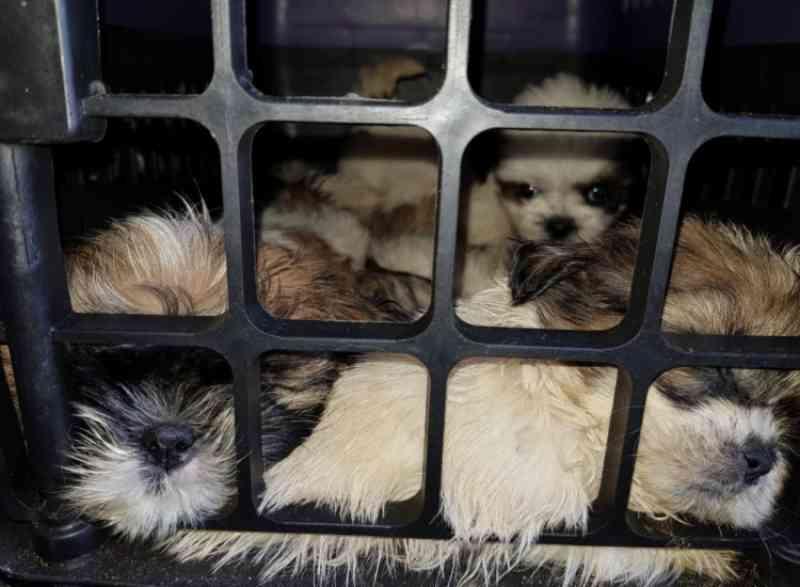 Homem é preso com mais de 60 filhotes de shih-tzu em porta-malas de carro