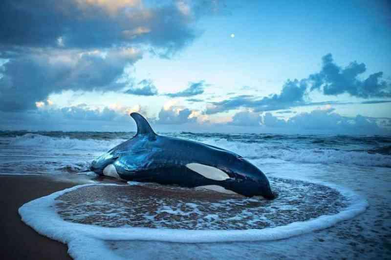 Filhote de orca encalha na Bahia e sofre eutanásia por não ter chances de voltar ao mar