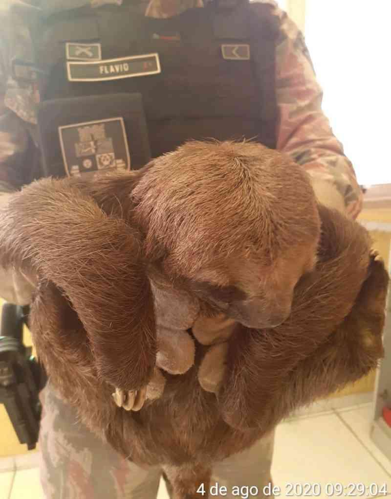 Bicho-preguiça transportado acidentalmente em caminhão é resgatado pela Polícia Ambiental em Fortaleza, CE