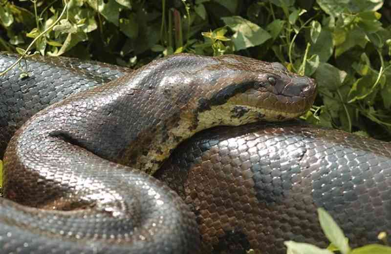 Anaconda resgatada de traficantes ganha liberdade