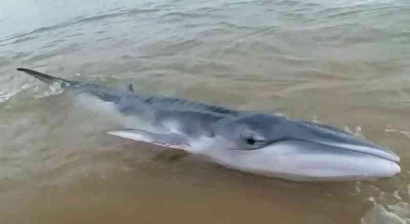 Mais uma! Baleia é encontrada encalhada na praia de Meaípe, em Guarapari, ES