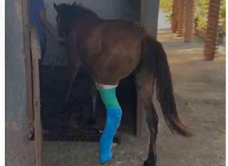 Égua salva por agente de trânsito se recupera após cirurgia; vídeo
