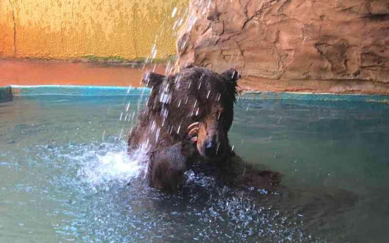 Prefeitura deve recorrer de decisão da Justiça de transferir urso famoso do Zoológico de Goiânia para santuário em SP