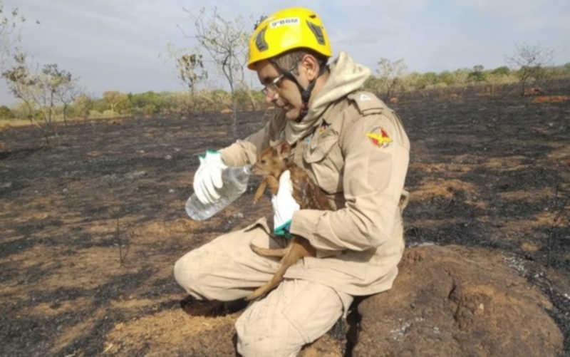 Filhote de veado-campeiro é resgatado de incêndio e bebe água no colo de bombeiro, em Caldas Novas, GO; vídeo