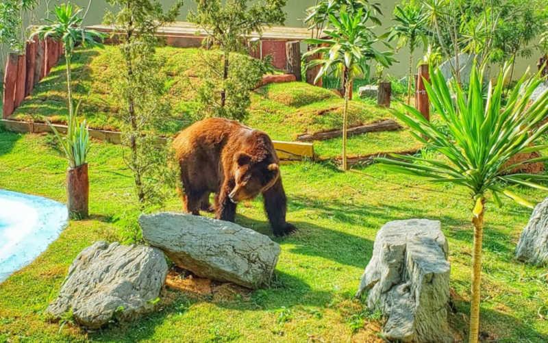 Justiça volta atrás e decide manter urso Robinho no Zoológico de Goiânia