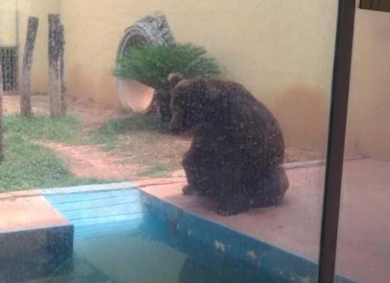 TJ concede liminar que liberta urso Robinho do Zoológico de Goiânia