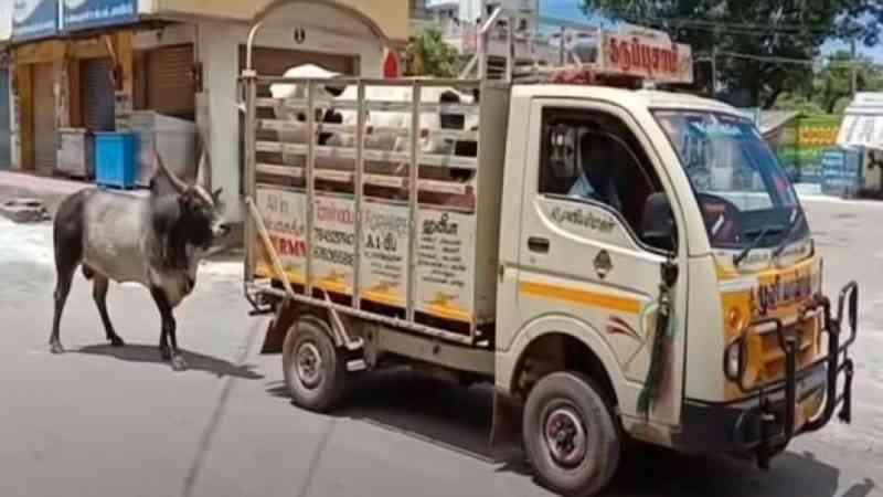Touro persegue caminhão que estava levando sua amada vaca que foi vendida