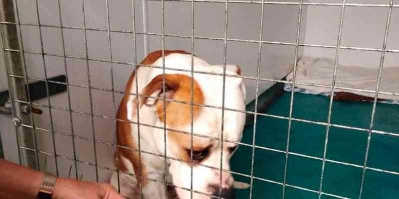 Cão com marca de queimaduras de cigarro é abandonado acorrentado