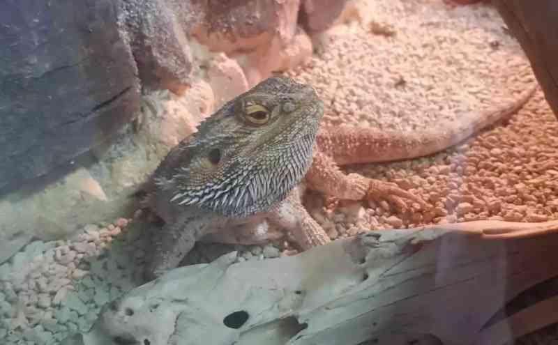 Após 'dragão' apreendido, cobras e até aranhas são entregues para evitar prisão em MS