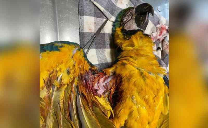 Temporada de pipas: araras que sobrevivem não conseguem voar após acidentes