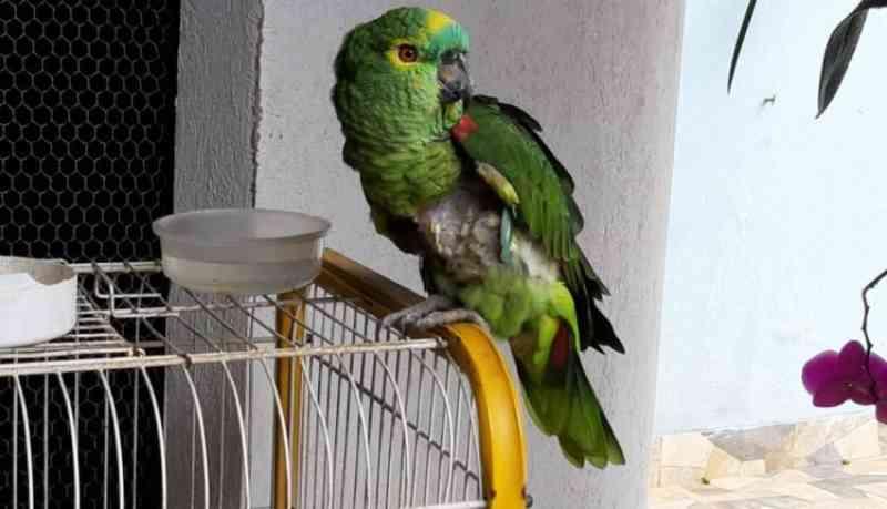 Salvo pela polícia: papagaio mantido em cativeiro arrancava as próprias penas