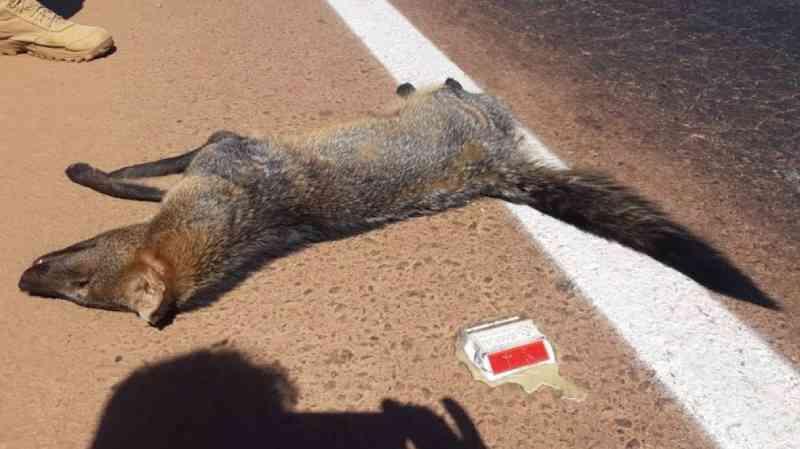 Cachorro-do-mato e mais 3 animais são atropelados e morrem na BR-163 no Nortão, em MT