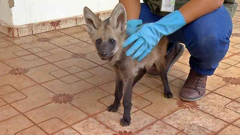 Filhote de lobo-guará é resgatado após a mãe ser atropelada e morta em MT