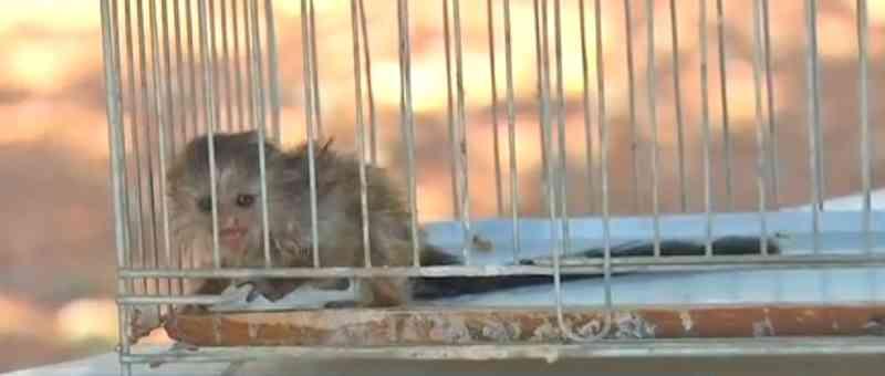 Filhote de macaco fica órfão depois de mãe ser atropelada quando fugia de incêndio com ele nas costas no Pantanal de MT
