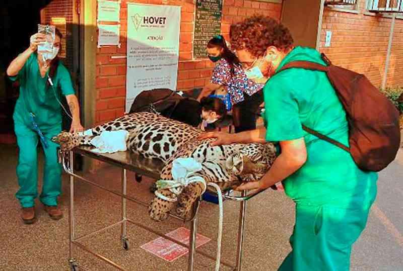 Onça é resgatada por força-tarefa após ficar ferida em queimada no Pantanal em Mato Grosso