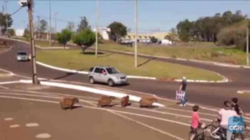 Mulher ajuda capivaras a atravessarem avenida em Cascavel, PR; veja