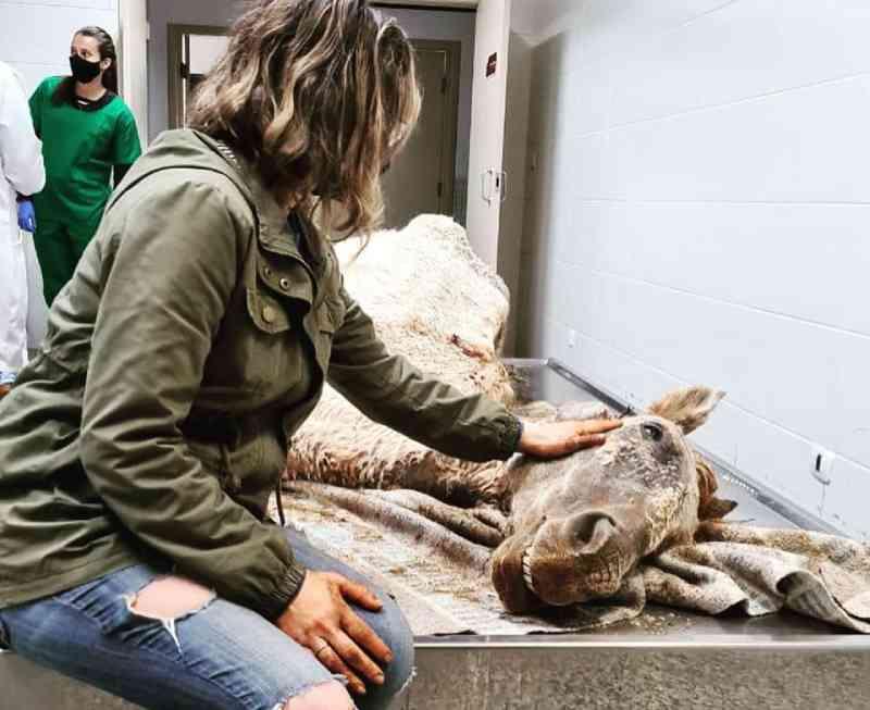 Após ser resgatada em situação de maus-tratos, égua não resiste e morre