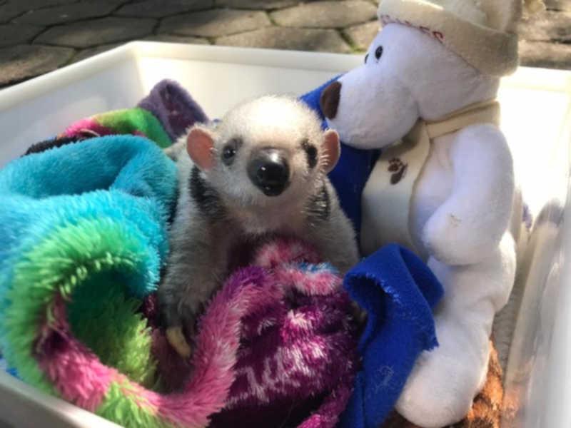 Filhote de tamanduá-mirim resgatado ganha cobertores e pelúcia para enfrentar frio, em Cascavel, PR; FOTOS