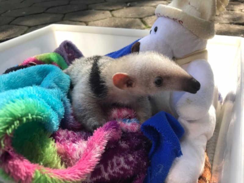 Tamanduá-mirim ganha cuidados especiais no zoológico de Cascavel — Foto: Anna Flávia Nunes/RPC Cascavel
