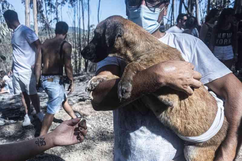Portugal: animais que sobreviveram ao incêndio em Santo Tirso já estão a ser esterilizados