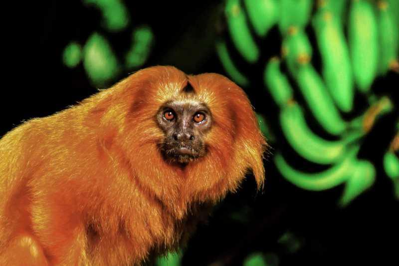 Área de Proteção Ambiental Rio São João é o berço dos micos-leões-dourados no RJ — Foto: Luiz Thiago de Jezus
