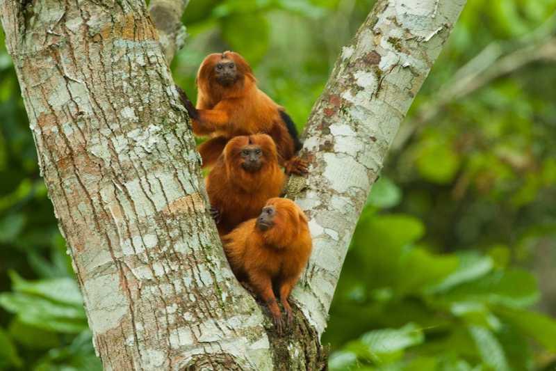 Dia do mico-leão-dourado é comemorado neste domingo (2) — Foto: Haroldo Palo