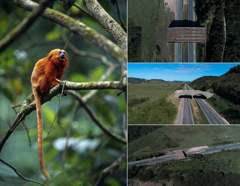 O mico-leão-dourado poderá usar o viaduto vegetado daqui a alguns anos, quando a vegetação crescer dando mais segurança aos micos — Foto: Reprodução ICMBio e Divulgação Arteris Fluminense