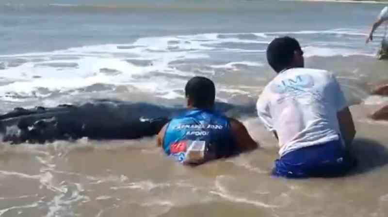 Baleia encalha na praia de Touros, RN, e é resgatada por pescadores