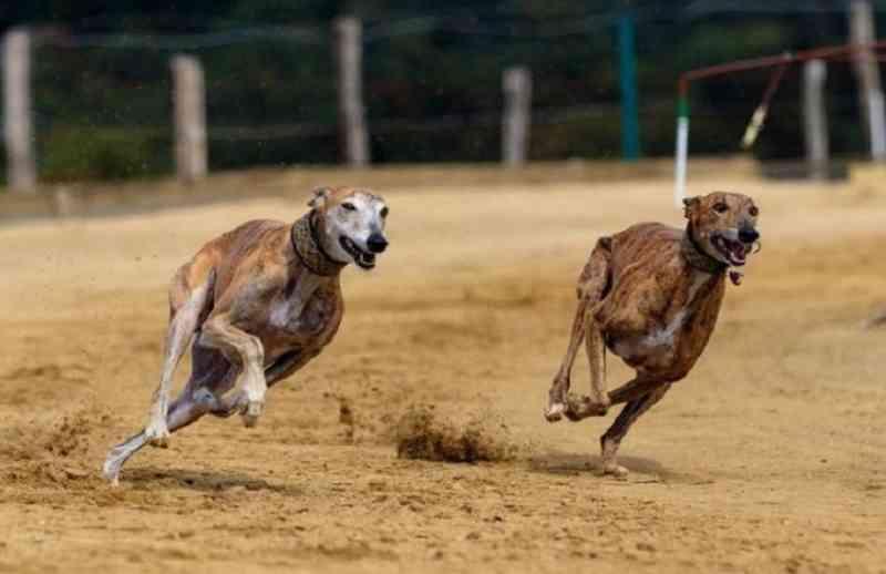 Projeto, na Assembleia Legislativa, proíbe competições de velocidade envolvendo cães no RS