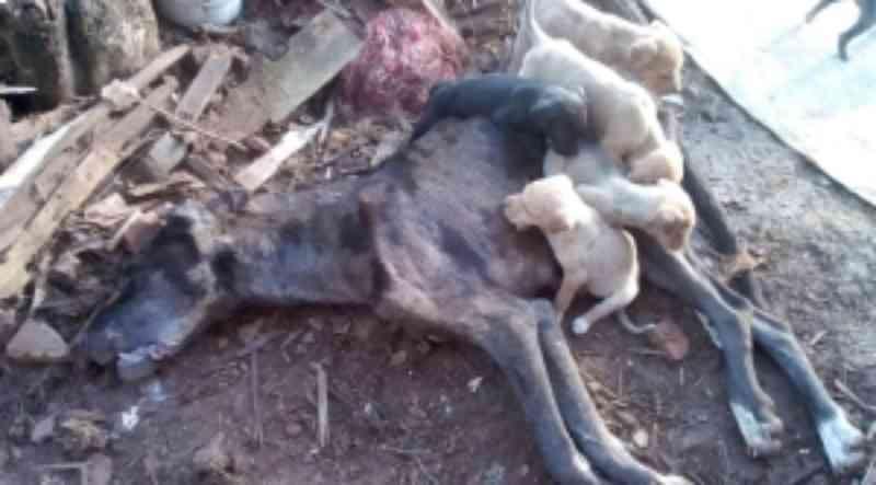 Morte de cadela que deixou sete filhotes será investigada em Caçador, SC