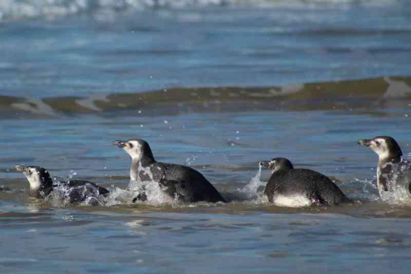 Pinguins-de-Magalhães resgatados após encalhar em praias voltam ao mar em Florianópolis, SC