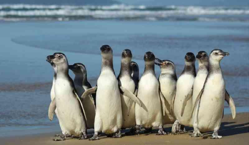 Pinguins são soltos em praia de Florianópolis (SC) após passarem por reabilitação
