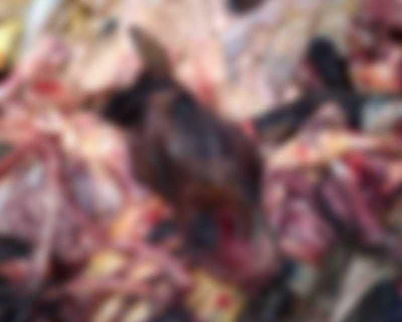 Polícia flagra homens desossando cavalos em abatedouro clandestino de Imaruí, SC; carne seria vendida para açougue