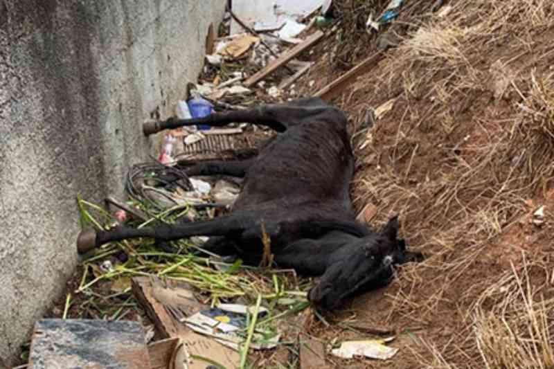 Cavalo é encontrado quase morto por falta de alimentação em Barueri, SP