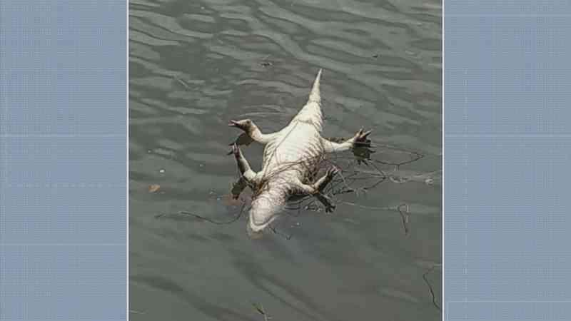 Suspeito de caça que matou jacaré em lago de Charqueada (SP) é multado por crime ambiental