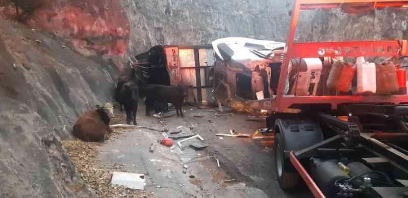 Caminhão carregado com bois tomba em Ocauçu (SP) e polícia cerca animais que escaparam