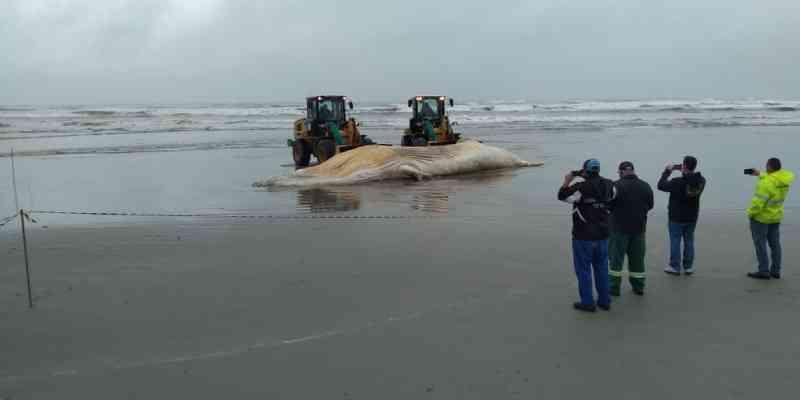 Baleia-jubarte de 12 metros encalha em SP e chama atenção de moradores