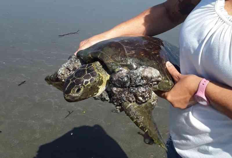 Mulher resgata tartaruga no litoral de SP e decide homenagear animal: 'Vou tatuar'