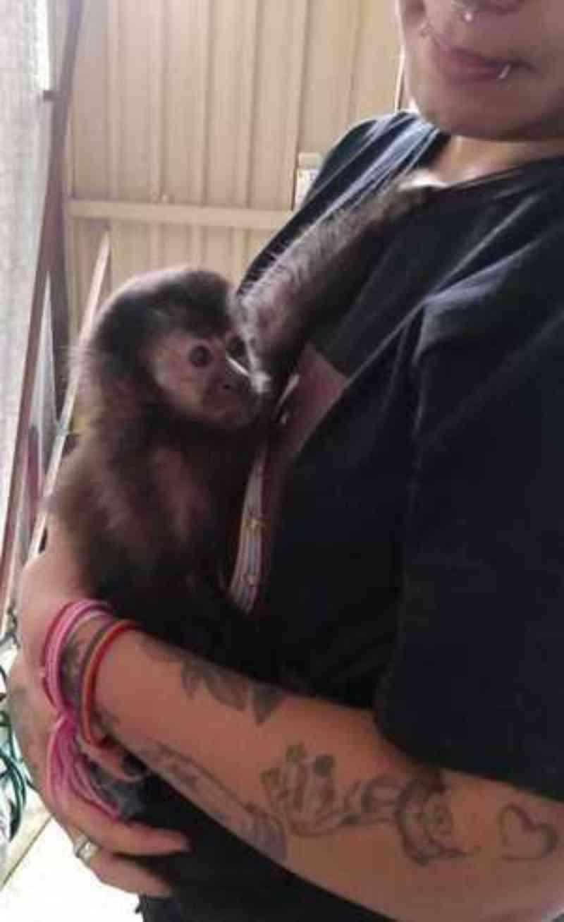 Mulher é presa por manter macaco-prego dentro de casa em São Paulo