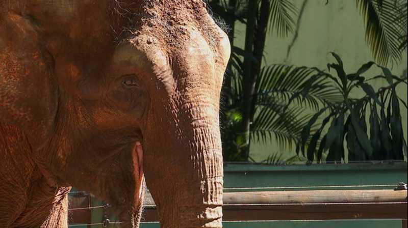 Justiça autoriza transferência de elefanta do Zoo de Ribeirão Preto, SP, para Santuário no Mato Grosso