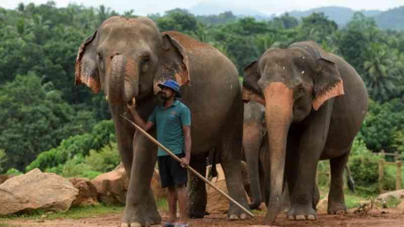 No Sri Lanka, confinamento oferece trégua aos elefantes ameaçados