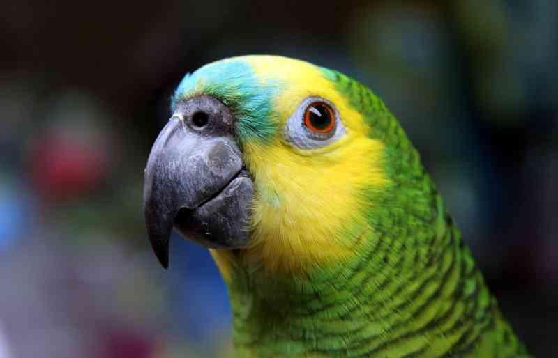 Como funciona o comércio ilegal que transforma papagaios livres em 'pets'