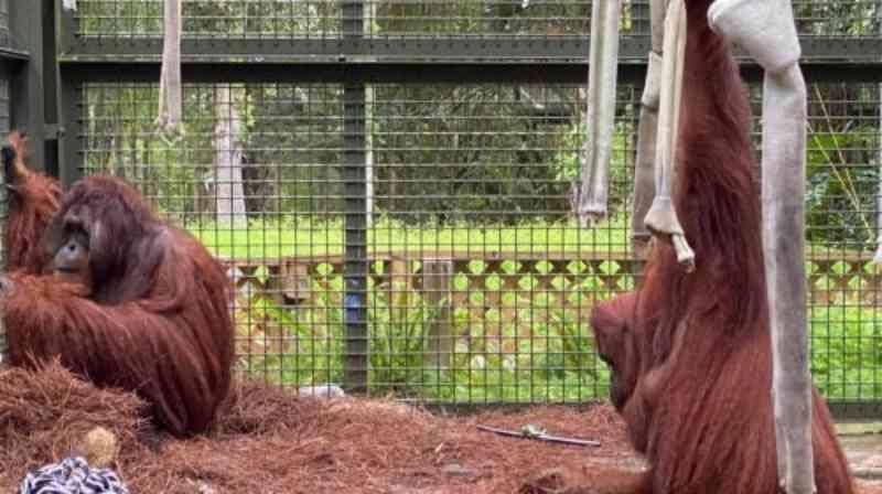 Orangotangos Sandra e Jethro se tornam um casal em santuário