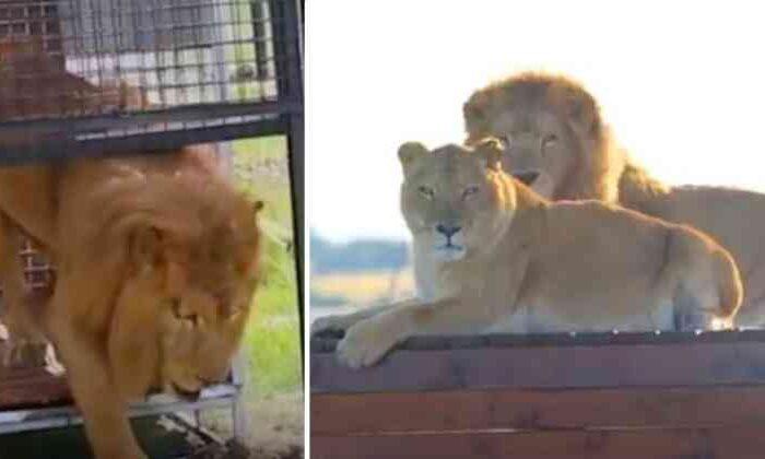 Após 8 anos presos em gaiolas, leões de circo são resgatados e pisam na grama pela primeira vez
